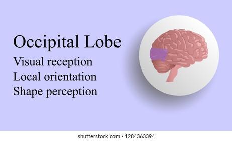 Occipital lobe vector. Brain lobes vector illustration. Human brain infographic vector. Brain lobes functions