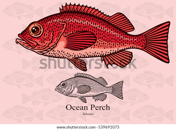 Ocean Perch, Redfish. Vector illustration with refined details and optimized stroke that allows the image to be used in small sizes (in packaging design, decoration, educational graphics, etc.)
