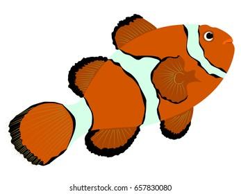 Ocellaris anemonefish illustration