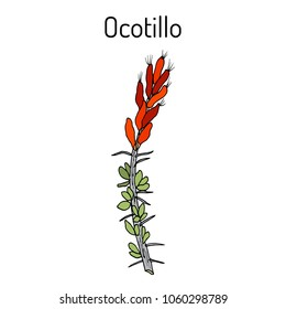 Ocotillo (Fouquieria splendens), or coachwhip, candlewood, slimwood, desert coral, Jacob cactus, medicinal plant. Hand drawn botanical vector illustration