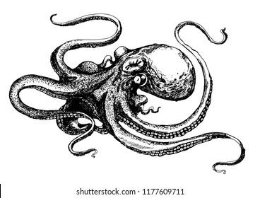 octopus drawn. sketch