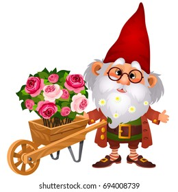 Old brownie man or boggart carries wooden garden wheelbarrow with flowers isolated on white background. Cartoon vector illustration close-up.