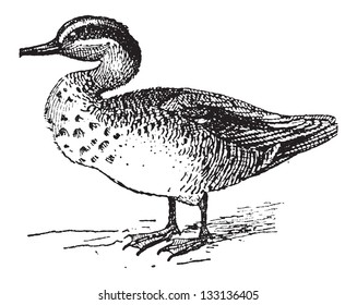Old engraved illustration of Common Teal or Anas crecca or Eurasian Teal or The teal. Dictionary of words and things - Larive and Fleury ? 1895