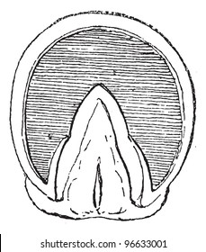Old engraved illustration of Horse's hoof  (Front Upright) isolated on a white background. Dictionary of words and things - Larive and Fleury - 1895