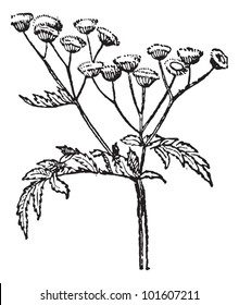 Old engraved illustration of Tansy or Tanacetum vulgare or Common Tansy or Bitter Buttons or Cow Bitter or Mugwort, or Golden Buttons. Dictionary of words and things - Larive and Fleury - 1895