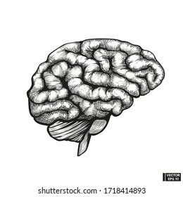 Old hand drawn engraving imitation. Human brain sketch style.