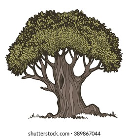 Old oak tree, color vector illustration on a white background.