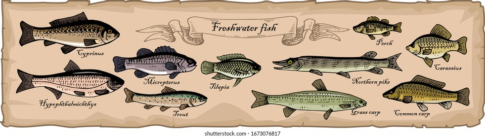 An old sheet of paper with a drawing of different types of freshwater fishes. Fish drawn in pen and ink. Trace. Perch, carp, silver carp, pike, grass carp. Vector illustration.