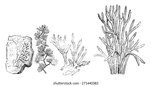 Older plants. Cambrian period. 1. Petrifaction chondrite. 2. Murchisonites forbesi. 3. Ancient chondrites. 4. Seaweed, vintage engraved illustration. Earth before man - 1886.