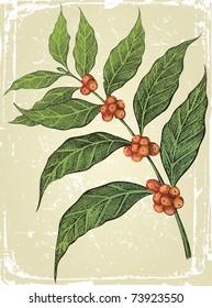 old-fashioned hand drawn coffee tree branch