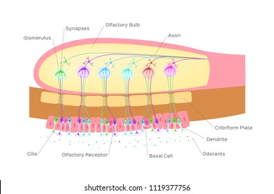 olfactory bulb (organ of smell) / nerve cells in nose / vector