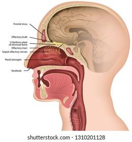 Olfactory nerve medical vector illustration on white background