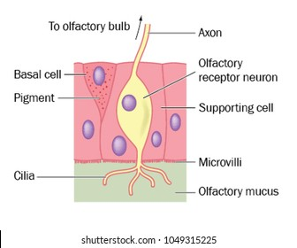 Olfactory (sense of smell) nerve cell detail, showing the location of the neuron cell in the olfactory epithelium