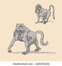 Olive baboons. Hand drawn realistic illustrations isolated on background. Vector doodle design. Savannah animals
