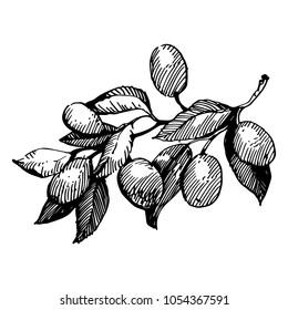 Olive branch. Black Ink drawing illustration.