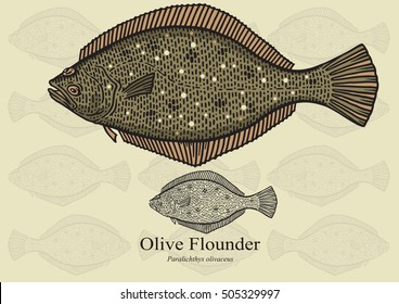 Olive Flounder. Vector illustration with refined details and optimized stroke that allows the image to be used in small sizes (in packaging design, decoration, educational graphics, etc.)