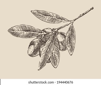 Olive tree branch, vintage illustration, engraved style, hand drawn, sketch