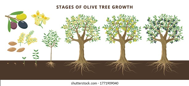 Olive tree growing stages froom seed, seedling, sprout, flowering, ripe olive fruits, green, yellow olives and black. Set of vector botanical illustrations, infographics isolated on white background.