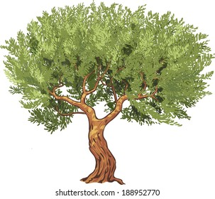 Olive tree isolated, vector illustration