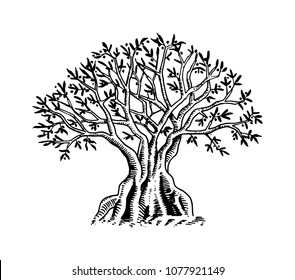 Olive Tree. Organic vegetarian product. Green plant for healthy diet. Black fruit for cooking oil and food. Engraved hand drawn vintage sketch. Vector illustration for logo or badge. Web infographic.
