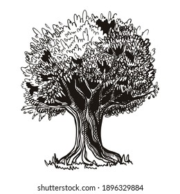 Olive tree sketch. Vector illustration in hand drawn style, isolated on wthite background