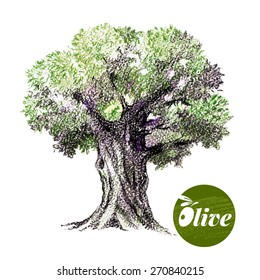 Olive tree vector illustration. Hand drawn  sketch watercolor colored pencils drawing on white background