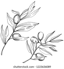 Olive tree in a vector style isolated. Black and white engraved ink art. Full name of the plant: Branches of an olive tree. Vector olive tree for background, texture, wrapper pattern, frame or border.