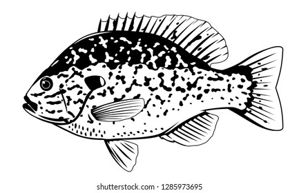One pumpkinseed sunfish in side view with big fins and with spots in black and white color, isolated