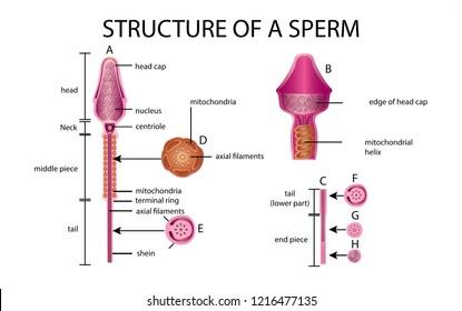 One sperm is human semen. In the white back