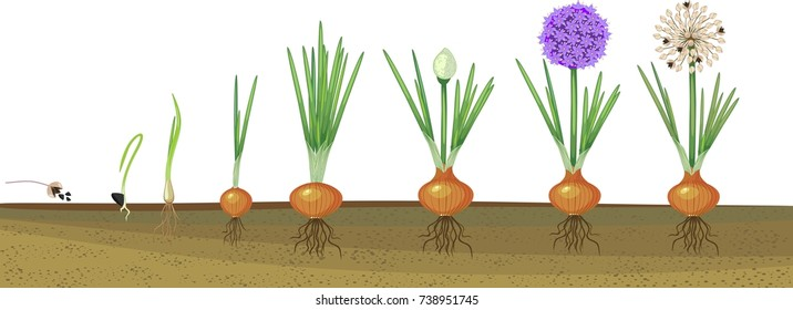 Onion life cycle. Onion growth stages from seeding to flowering and fruit-bearing plant