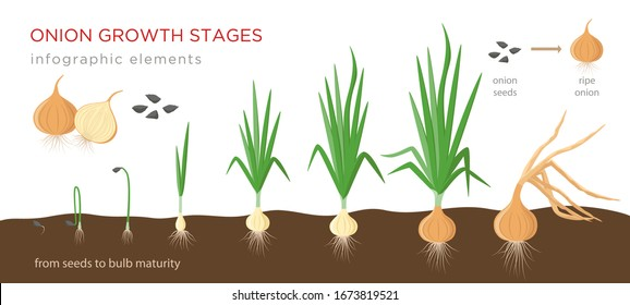 Onion plant growing stages from seeds to ripe onion - development of onion seeds, growth cycle - set of botanical drawings, infographic elements, vector illustrations isolated on white background.