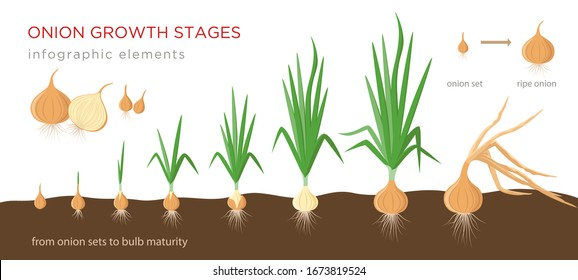 Onion plant growing stages from onion sets to ripe onion - second year development of onion seeds - set of botanical detailed infographic elements, vector illustrations isolated on white background.