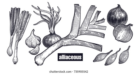 Onion, shallot, leek set. Plants isolated. Vegetarian food for design menu, recipes, decoration kitchen items. White and black. Vector illustration art. Hand drawing of vegetables. Vintage engraving.