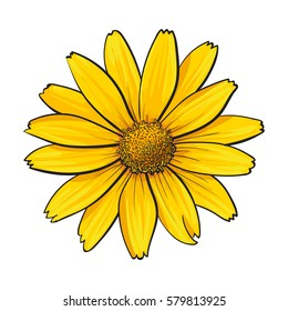 Open heliopsis blossom, top view, sketch style vector illustration isolated on white background. Realistic top view hand drawing of yellow, orange wild, field heliopsis, false sunflower