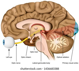 optic nerve and optic tract medical vector illustration isolated on white background