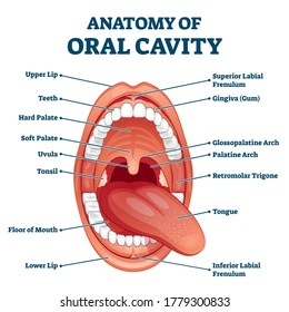 Oral cavity anatomy with educational labeled structure vector illustration. Dental medical scheme for stomatology study. Healthy cloesup mouth with labial frenulum, gingiva and glossopalatine arch.