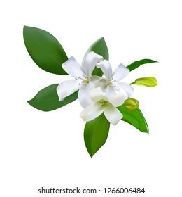 Orang Jessamine or Andaman satinwood flower