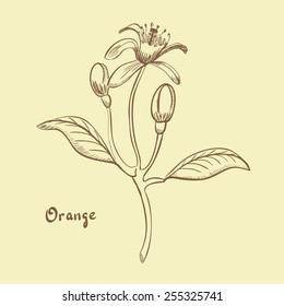 Orange blossom/ Hand drawn illustration retro style/ Vector EPS10