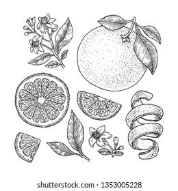 Orange botanical illustration. Engraved style. Vector illustration