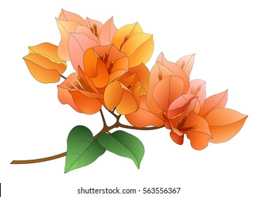 orange bougainvillea branch with leaves isolated on white background