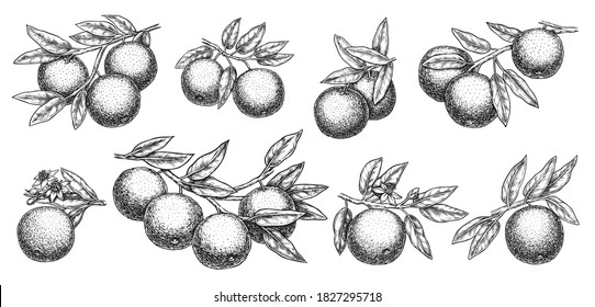 Orange branch sketch. Growth mandarin or, grapefruit or orange branch with leaf and citric fruit on stem detailed outline sketch illustration. Vector hand drawn botanical horticultural set on white