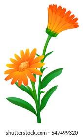 Orange calendula flowers with green leaves illustration