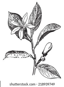 Orange, Flower and leaves, vintage engraved illustration. Dictionary of words and things - Larive and Fleury - 1895.