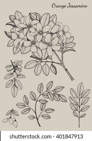 Orange Jessamine flower by hand drawing.flower design elements and highly detailed.