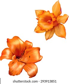 Orange lily flower. Daffodil flower or narcissus isolated on white background