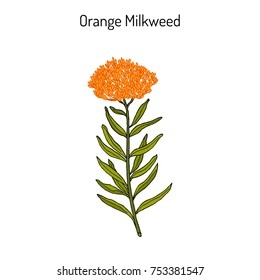 Orange milkweed (Asclepias tuberosa), or butterfly weed, chieger flower, fluxroot, Indian posy, pleurisy root, silky swallow-wort, medicinal plant. Hand drawn botanical vector illustration