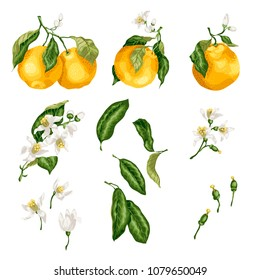 Orange plant set with fruit on branches, flowers, buds, leaves and tiny fruits. The set is made in graphic vector