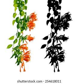Orange trumpet, Flame flower, Fire-cracker vine, vector