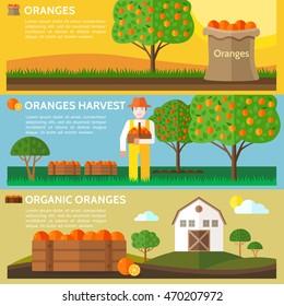 Oranges harvest. Farmer holding a basket full of harvested oranges. Agriculture landscape with barn house. Vector illustration.