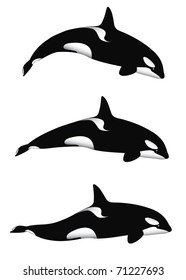 An orca (or killer) whale in 3 different positions, isolated on white. Editable vector illustration.